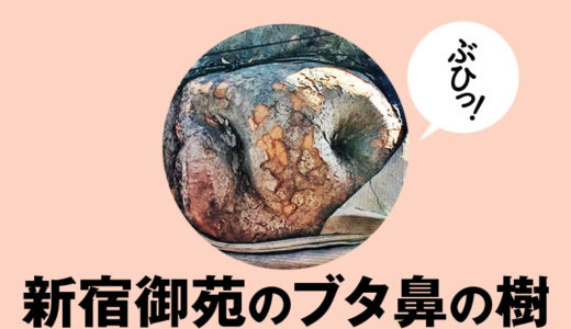 【新宿御苑】ブタ鼻の樹