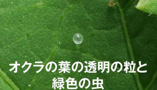 オクラの透明の粒と緑色の虫